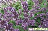 Šalvěj přeslenitá - Babské ucho (Salvia verticillata ´Purple Rain´)