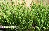 Slanorožec, Slaná bylinka - (Salicornia ´Europaea´) NOVINKA 2017