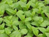 Taškentská máta (Mentha spicata ´Taschent´)
