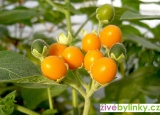 Trpasličí Tamarillo - rajčenka (Cyphomandra abutiloides) - NOVINKA JARO 2017 - vyprodáno