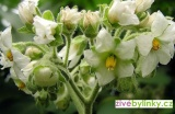 Trpasličí Tamarillo - rajčenka (Cyphomandra abutiloides) - NOVINKA JARO 2017