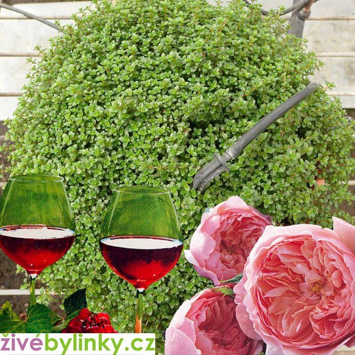 Tymián s vůní růží a vína (Thymus 'Caborn Wine And Roses'℗ )