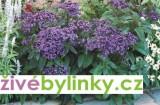 Zvětšit fotografii - Vanilkový keřík (Heliotropium arborescens)