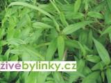 Vietnamský koriandr, Rau Ram (Persicaria odorata)