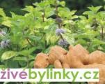 Zázvorová máta (Mentha gentilis ´Ginger´)