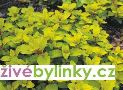 Zlaté oregáno (Origanum vulgare ´Goldtaler´)