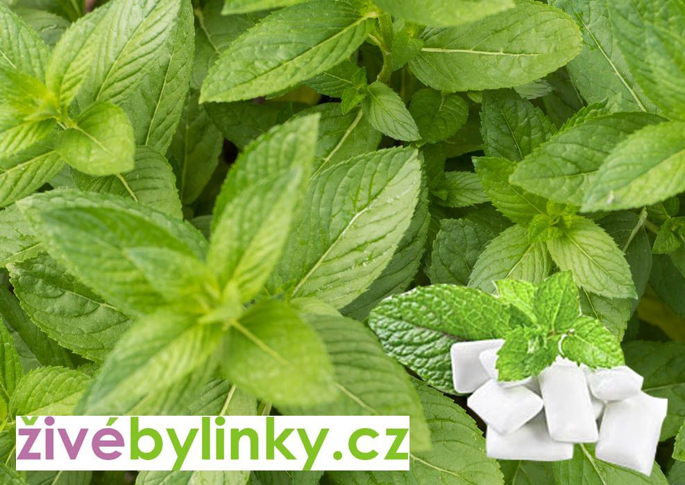 Žvýkačková máta YAKIMA (Mentha spicata ´Yakima´) NOVINKA