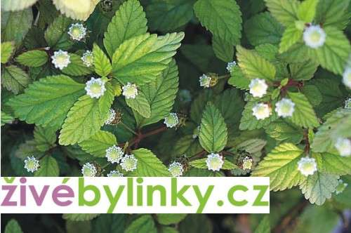 Aztécký cukr (Lippia dulcis ´Collada´)