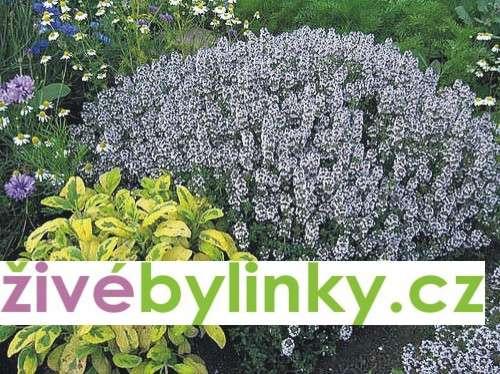 Pravý tymián (Thymus vulgaris ´Tim´)