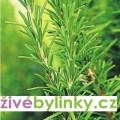 Gurmánský rozmarýn lékařský (Rosmarinus officinalis ´Abraxas´)