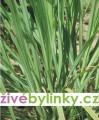 Citronová tráva (Cymbopogon citratus) - silné sazenice
