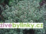 Stříbrný tymián (Thymus citriodorus´Silver Quenn´)