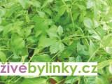 Jiaogulan - pětilistý ženšen, Bylina nesmrtelnosti (Gynostemma  pentaphyllum)