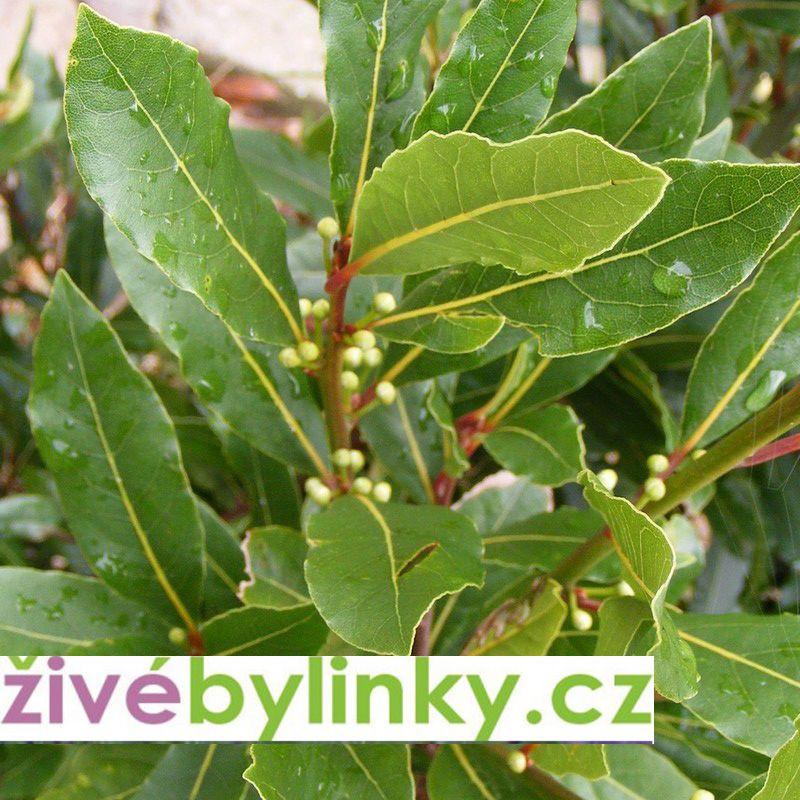 Bobkový list - Vavřín ušlechtilý (Laurus nobilis)