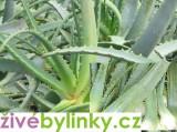 Aloe (Aloe arborescens) - velké rostliny