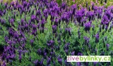 10 ks francouzská motýlové levandule - modré (Lavandula stoechas ´Blue Star´)