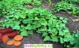3 druhy batátů po 3 ks - oranžové, červené a fialové (Ipomea batata)