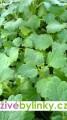 5 ks Rýmovníku mentolového (Plectranthus sp.)