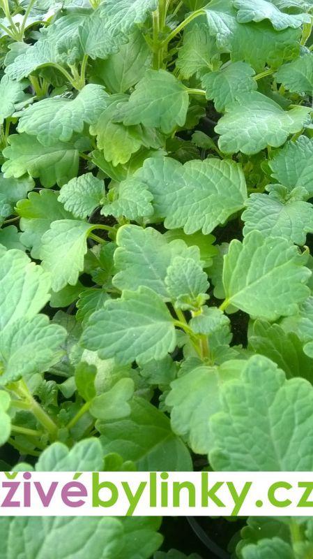 Rýmovník mentolový (Plectranthus sp.)