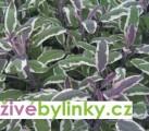 Trojbarevná šalvěj - (Salvia off.Hexenmantel´)