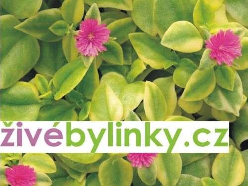 Kosmatovník panašovaný (Aptenia cordifolia ´Variegata´)