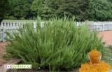 Anglický pryskyřicový rozmarýn (Rosmarinus officinalis ´Miss Jessop´)