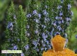 Anglický pryskyřicový rozmarýn (Rosmarinus officinalis ´Miss Jessop´) - NOVINKA JARO 2018