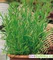 Anýzový estragon (Artemisia drancunculus ´Vienco´) - NOVINKA JARO 2021