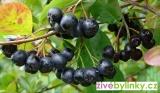 """Arónie, Temnoplodec, """"Černý jeřáb"""" (Aronia melanocarpa) - velké  rostliny"""