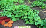 Oranžové batáty, Sladké brambory - odrůda Erato Orange (Ipomea batata) - NOVINKA JARO 2020
