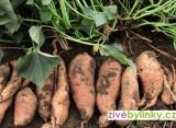 Batáty, Sladké brambory - odrůda Pleno