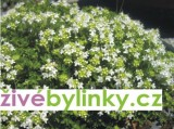 Bílá mateřídouška (Thymus serpyllum ´Albus´)