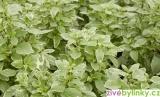 Bílá pesto bazalka (Ocimum basalicum ´Pesto Perpetuo℗´) - RARITA