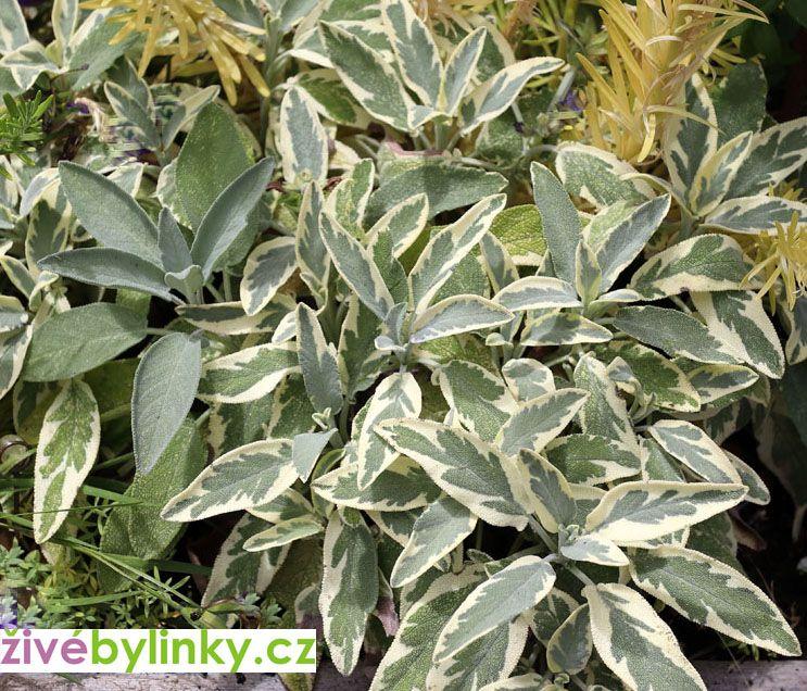 Bílá šalvěj lékařská (Salvia officinalis ´Bergarten Variegated´) - NOVINKA JARO 2021