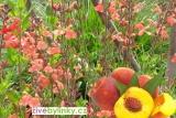 Broskvová šalvěj z Mexika  (Salvia greggii ´Peach´)