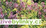 Gurmánský tymián (Thymus citriodorus ´Donne Walley´)