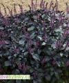 Černá americká bazalka (Ocimum herbalea 'Wild Magic℗) - RARITA A NOVINKA JARO 2020