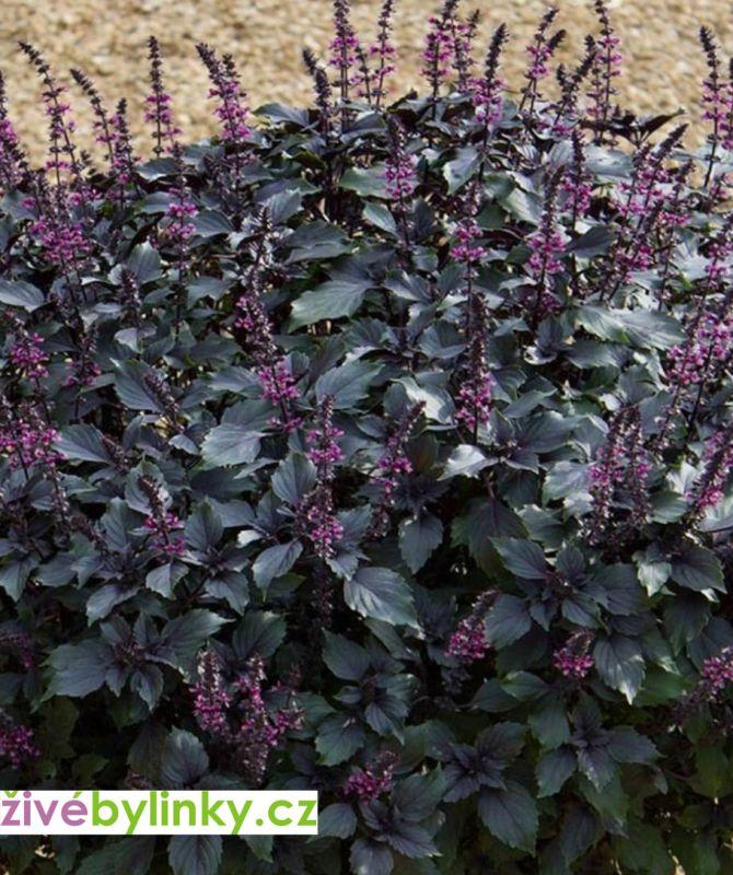 Černá americká bazalka (Ocimum herbalea 'Wild Magic℗) - RARITA