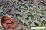 Červené batáty, Sladké brambory - odrůda Sakura (Ipomea batata ´Sakura´) - NOVINKA JARO 2020