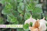 Česneková máta (Mentha species)