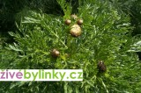 Čínská jedlá chryzantéma (Chrysanthemum coronarium)