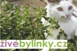 Šanta kočičí - Kočičí máta (Nepeta faasenii)
