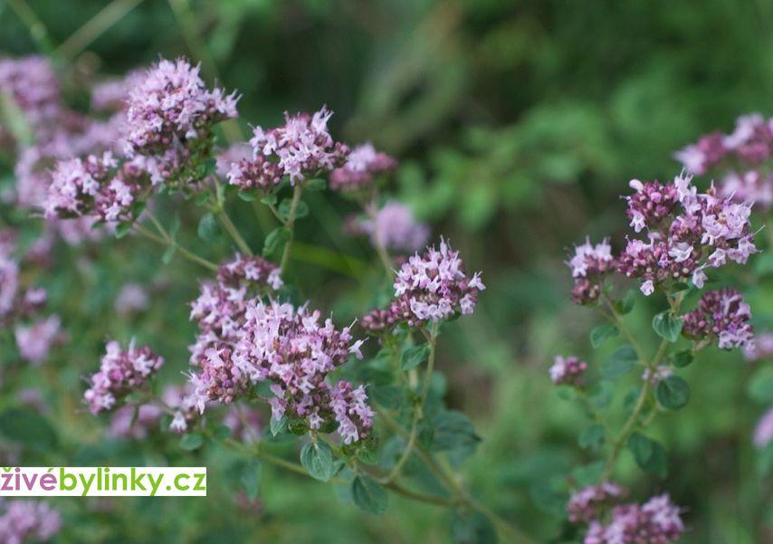 Divoká horská majoránka, Pamajorán (Origanum vulgare ´Wilder Majoran´)