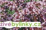 Dobromysl obecná (Origanum vulgare ´Margherita´)