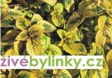 Moud citrónový (Plectranthus ciliatus)