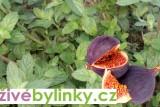 Fíková máta (Mentha tomentosa)
