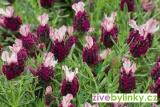 Francouzská motýlová levandule - červená (Lavandula stoechas ´Kew Red´)