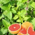 """Grepová máta (Mentha suaveolens × piperita""""Grapefruit"""")"""