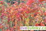 Indiánská borůvka - muchovník (Amelanchier lamarckii)