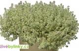 Izraelský bílý tymián  (Thymus spp. ´Sparkling Bright´) - RARITA A NOVINKA JARO 2021